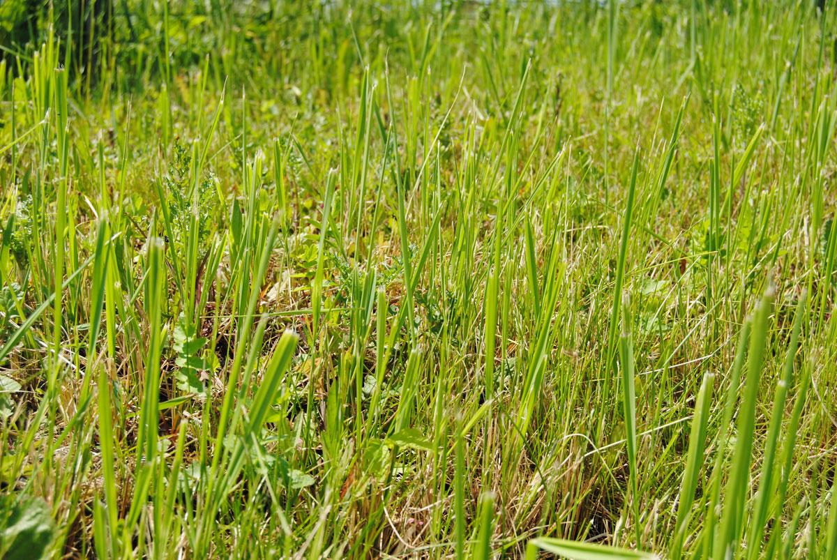 Rasen wieder fit machen - So gehts!