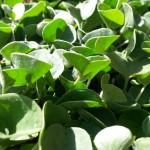 Bodendecker: Grüne Kissen für den Garten