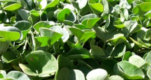 Bodendecker blühend und immergrün?