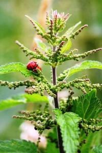 Brennesseljauche – ökologischer und effektiver Dünger