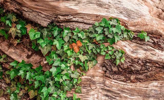 Efeu Kletterpflanze