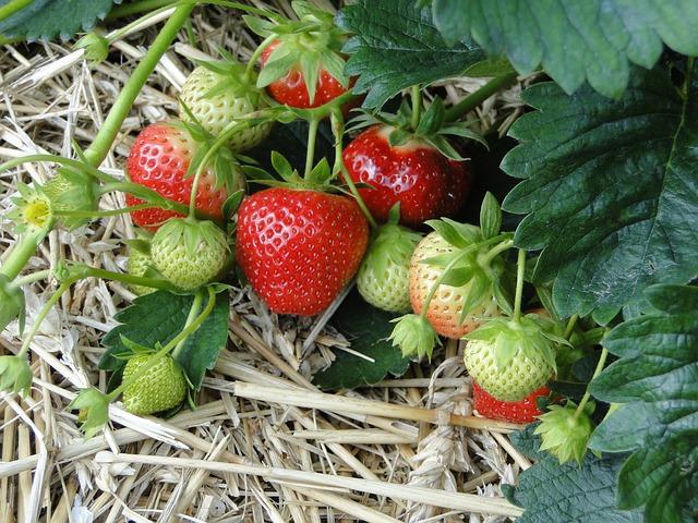 Erdbeeren neu pflanzen