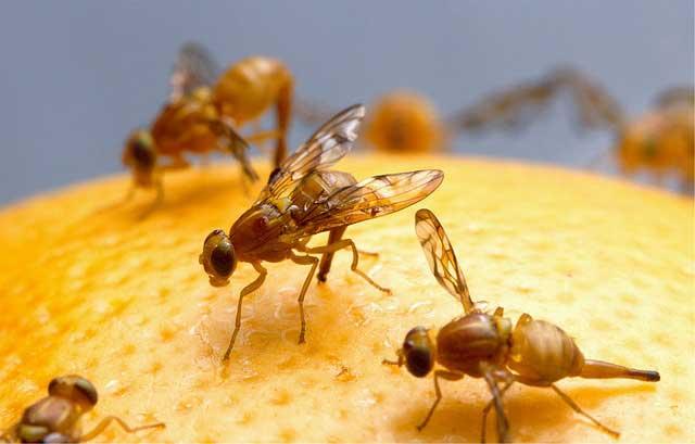 Fruchtfliegen fangen mit Hausmittel oder Fruchtfliegenfalle