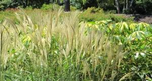 Pampasgras schneiden - Anleitung für den Rückschnitt