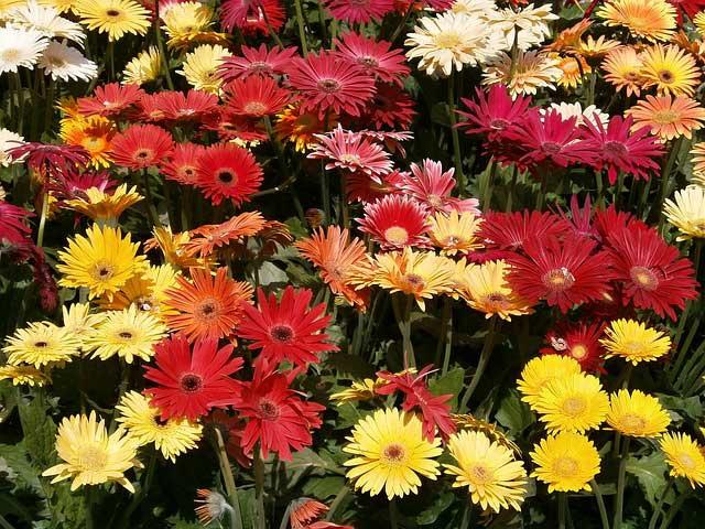 Die Gerbera Blütezeit entlohnt für alle Mühen der Pflege