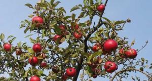 Historische Obstsorten auf Streuobstwiesen