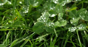 Wie Klee im Rasen entfernen - Biologisch oder mit Chemie?
