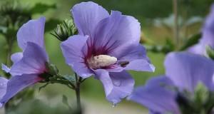 Malven - Heilpflanze mit berauschender Blüte