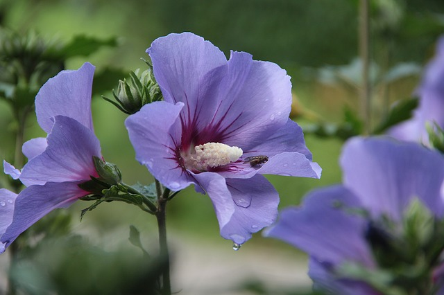 Die Blüte der Malve ähnelt dem Hibiskus der ebenfalls zu den Malvengewächsen zählt.