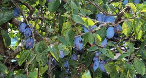 Pflaumenbaum schneiden