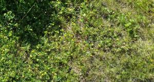 Unkrautvernichter für Rasen - Ziel Golfrasen oder Waldlichtung?