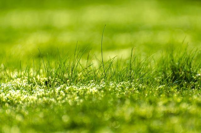Rasendünger ausbringen - Zeitpunkt und Streudichte beachten