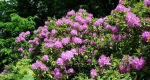 Rhododendron schneiden - Anleitung zur Pflege
