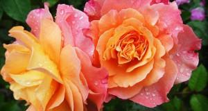 Rosenpflege - Rosen schneiden