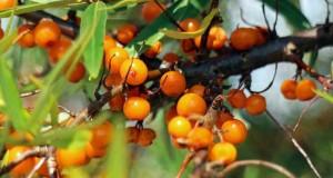 Sanddorn - Wildobst mit extrem vielen Vitaminen