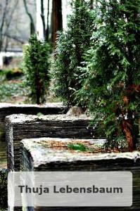 Der Thuja Lebensbaum
