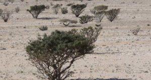 Die Weihrauch-Pflanze – Worum handelt es sich bei diesem Gewächs?