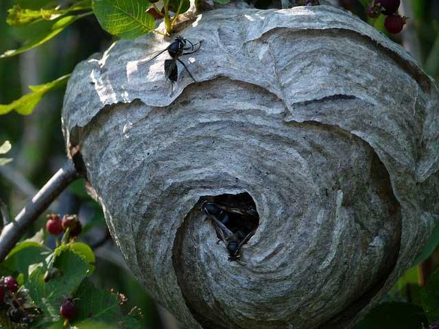 Wespen vertreiben mit simplen Trick: Wespennest mit Papiertüte simulieren.