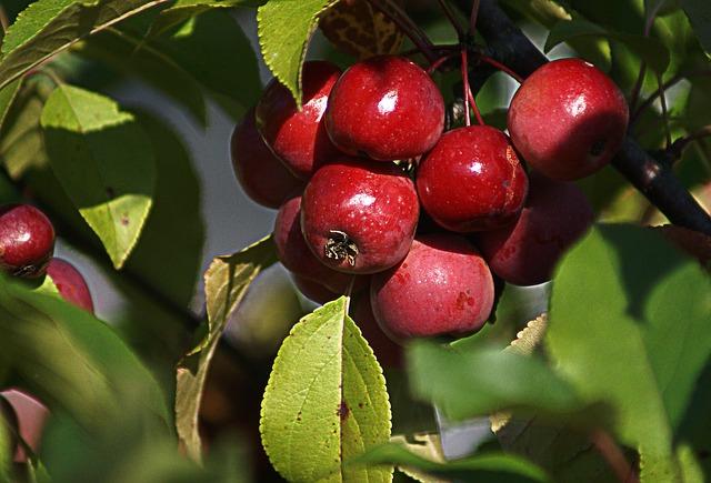 Zieräpfel im Garten oder Topf als Blickfang
